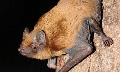 The calls of five bat species were heard at Secrets