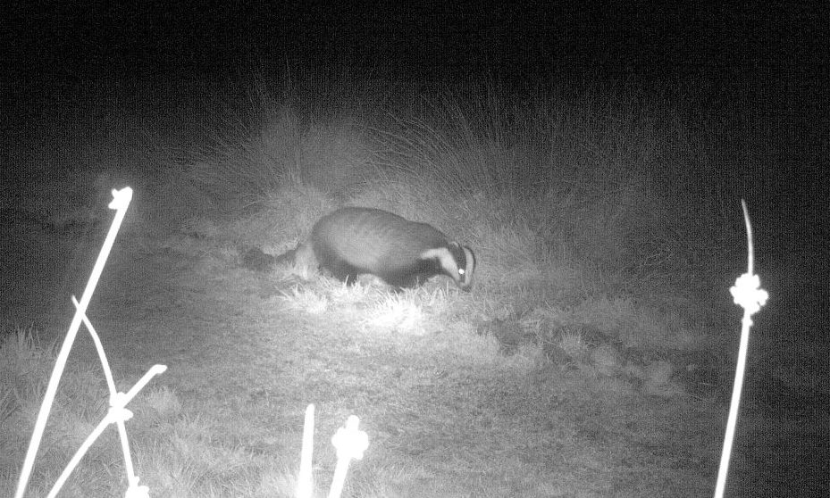Badger on Petersfield Heath