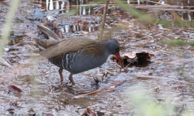 Rare appearance of our water rail