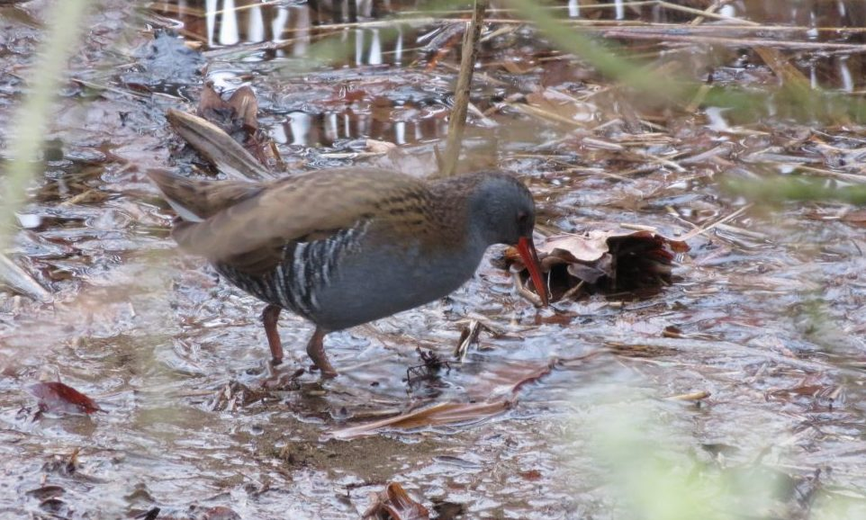 Water rail Petersfield Heath