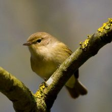 Have you heard a chiffchaff on Petersfield Heath?