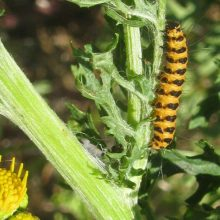 Cinnabar moth caterpillars devour ragwort on the heath