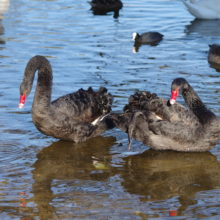 Black swans are back