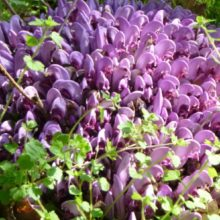Purple toothwort – what a strange plant!