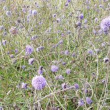 Devil's-bit Scabious – a new plant for the Heath