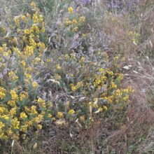 Have you seen the Dwarf Gorse?