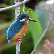 Kingfishers on Heath Pond