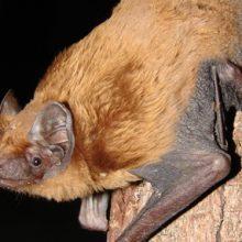 The calls of five bat species were heard at Secrets