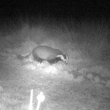 Badger filmed foraging on Petersfield Heath