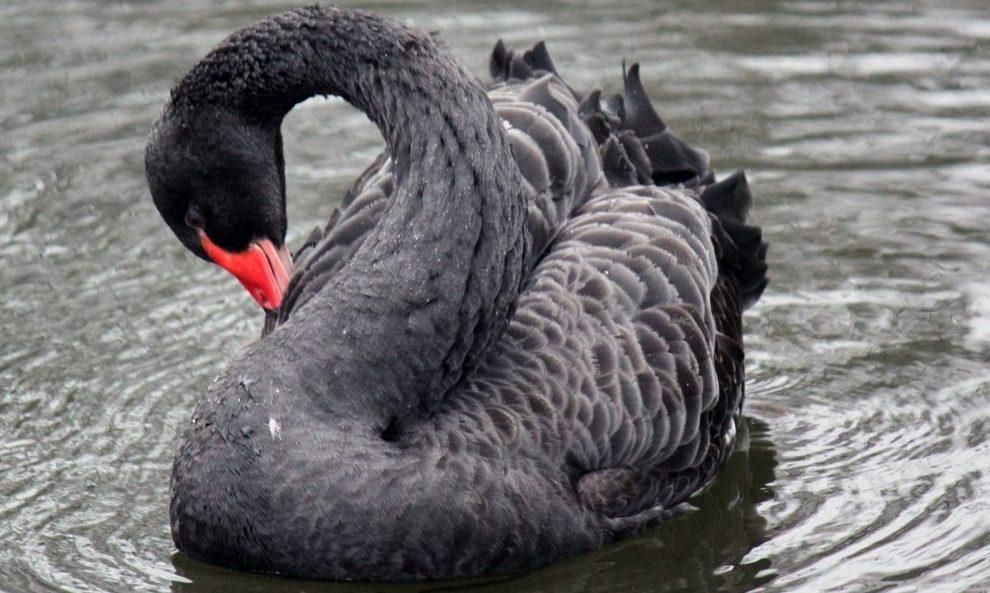 Black swan Petersfield Heath
