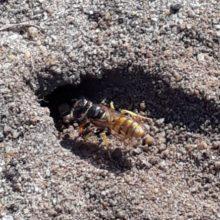 Beewolf wasp