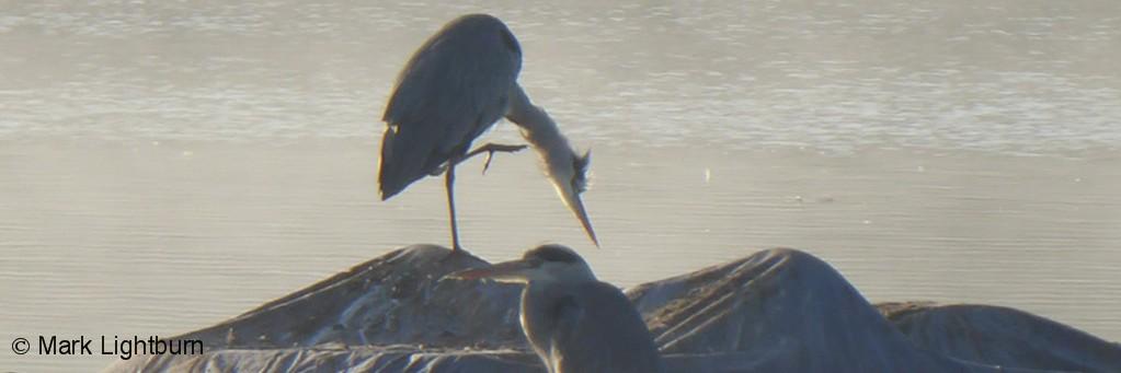 Herons for website slideshow P1080177