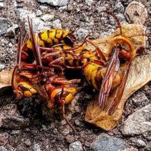 Mating hornets